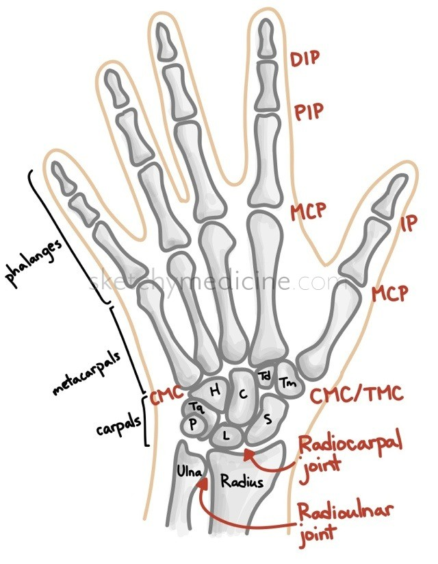 Bones and joints of the hand and wrist | Sketchy Medicine