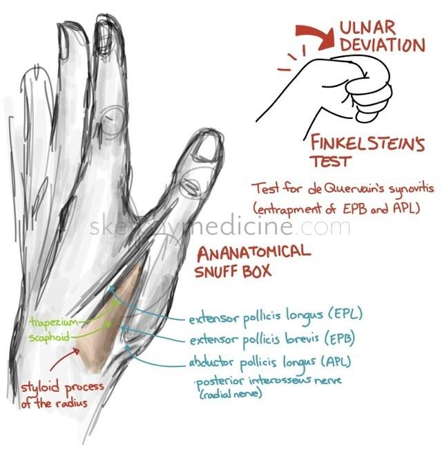 Anatomical snuff box anatomy