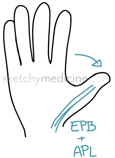 hand exam: motor 7/13 – extensor pollicis brevis (epb) and, Sphenoid