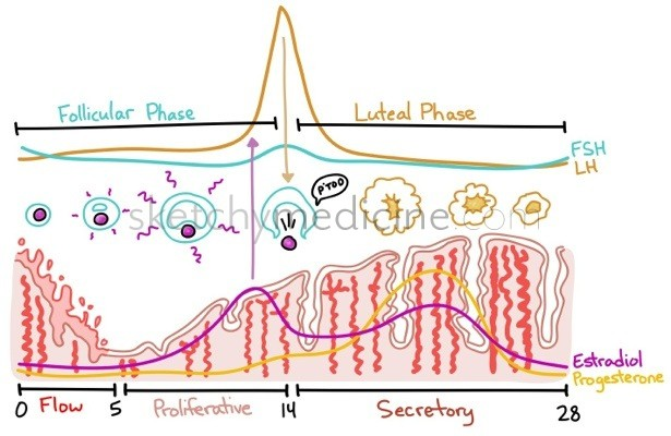 The Menstrual Cycle Sketchy Medicine