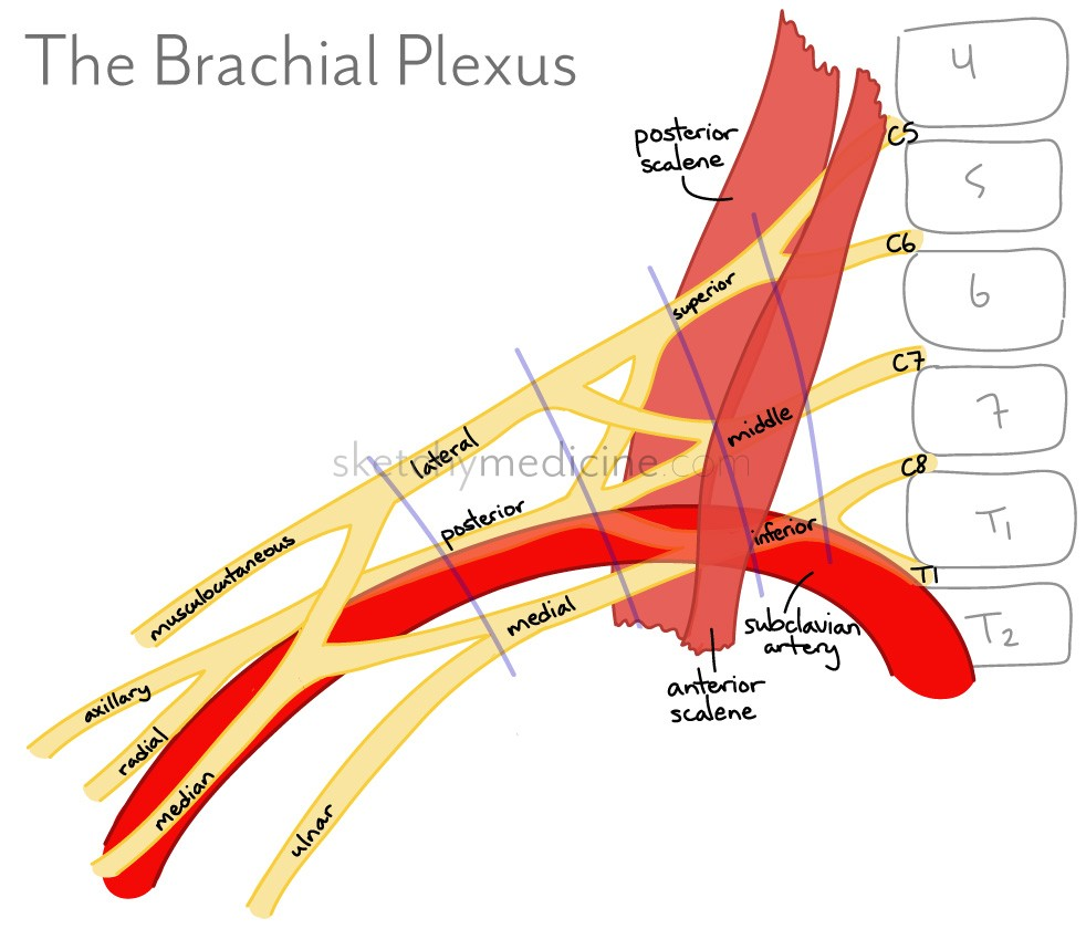 Brachial Plexus Part 1 – anatomical relations | Sketchy Medicine